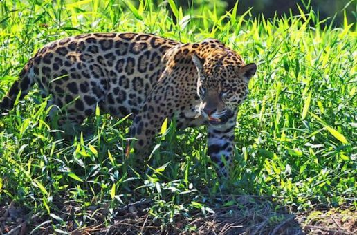 Incredible Wildlife Sightings in Brazil's Pantanal