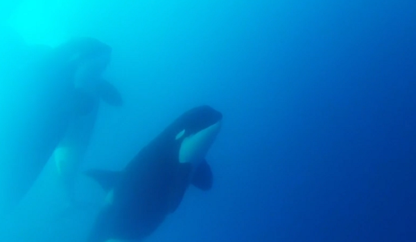 The first underwater videos of type D orcas