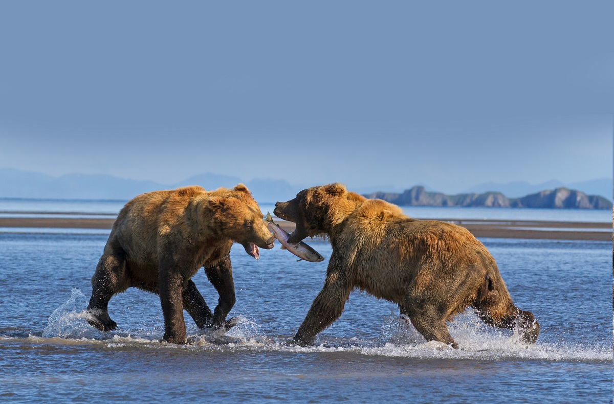 Brown bears in Alaska fight over a salmon.