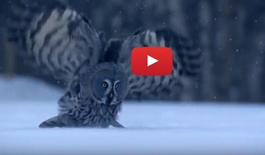 Video: Owls Have Heads Designed for Hearing