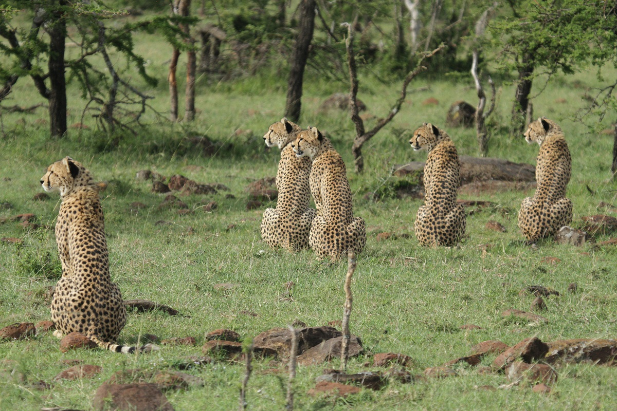 This coalition of 5 male cheetah is one of the largest ever seen. By ganging together they are able to dominate a large territory as well as hunt more successfully.