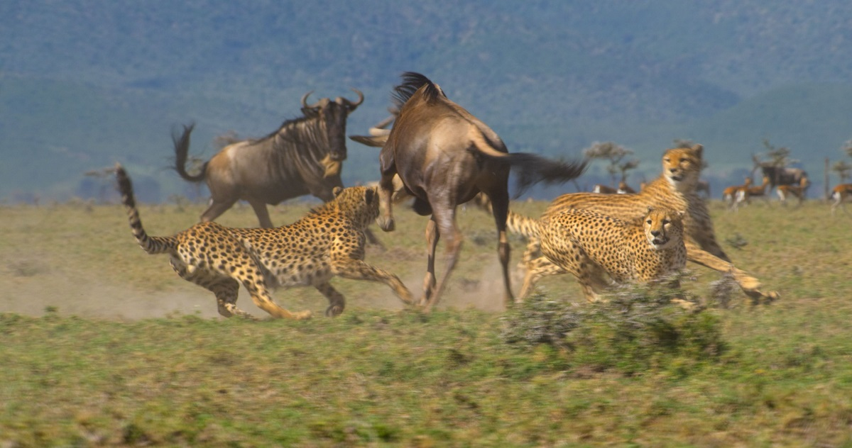 Three out of coalition of five male cheetah, hunting wildebeest on the plains of the Masai Mara Game Reserve, Kenya. This coalition of 5 male cheetah is one of the largest ever seen. By ganging together they are able to dominate a large territory as well as hunt more successfully.