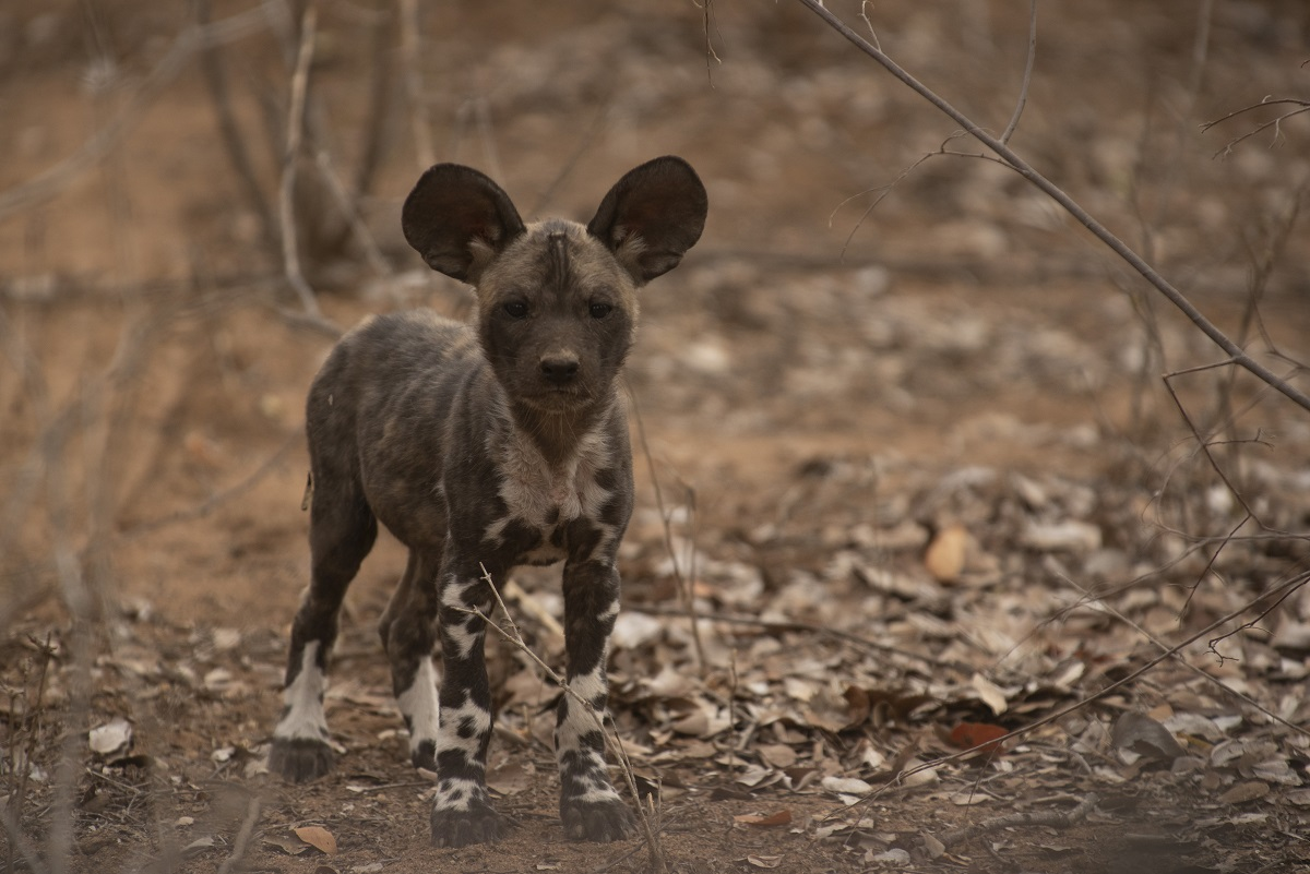Wild Dog pup waiting at the den expectantly for the pack to return .