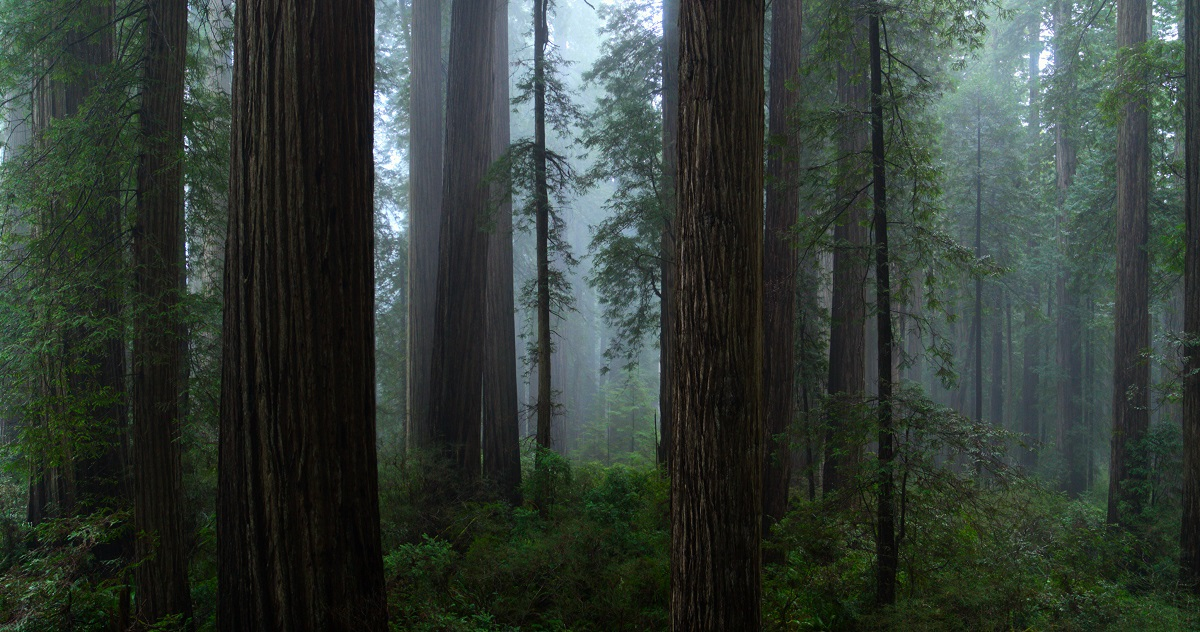 Only 5% of Redwood forest still exists . Redwood Forest, California, USA