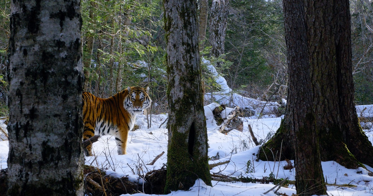 Siberian Tiger caught on camera trap in the Boreal Forests of Russia's Pacific Coast