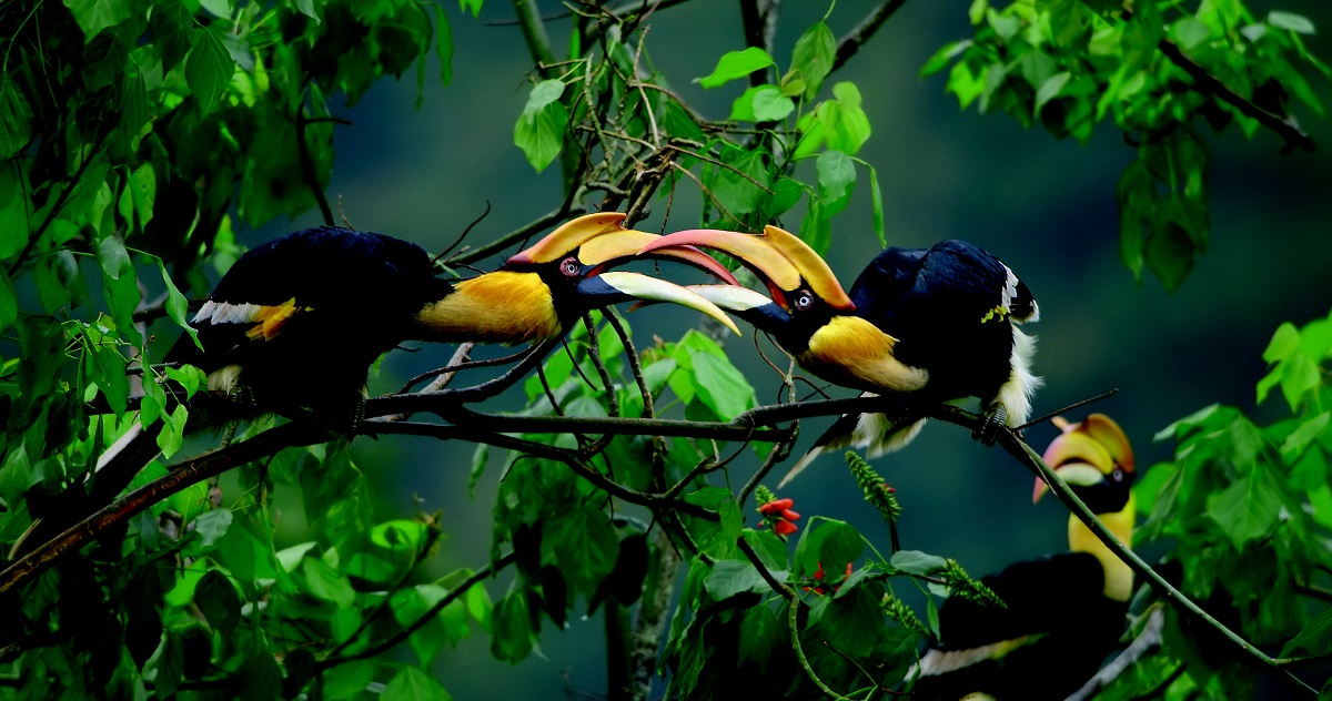 Great hornbills males battle in the air over territory , Western Ghats, India