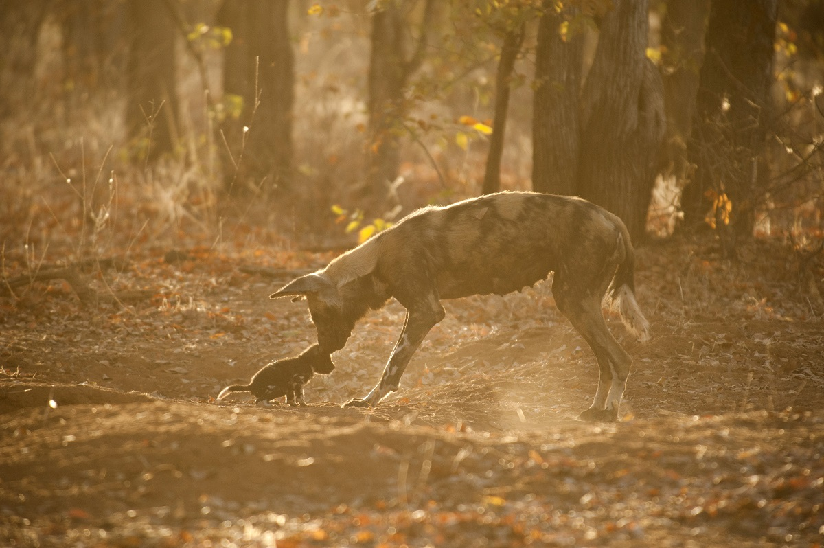 Wild Dog ( Lycaon Pictus) mother returns to den after the hunt to provision her pups . Wild Dogs are incredibly reliant on the Miombo Forests of Zimbabwe, Zambia and Tanzania as a refuge for raising pups and escaping predation pressures from lions and people.