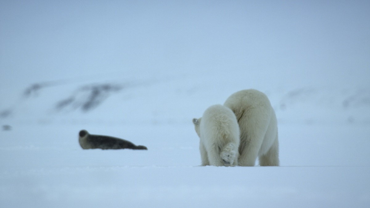 Grandmother's footsteps. A polar bear mother hunting an adult ringed seal with her year-old cub in tow.