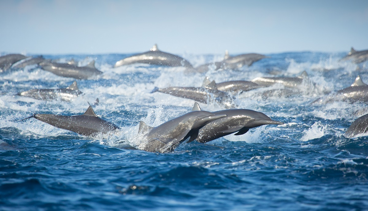 A pod of spinner dolphins on the charge, fleeing from predatory false killer whales that were chasing them. Off the Pacific coast of Costa Rica, the Osa peninsula to be precise.