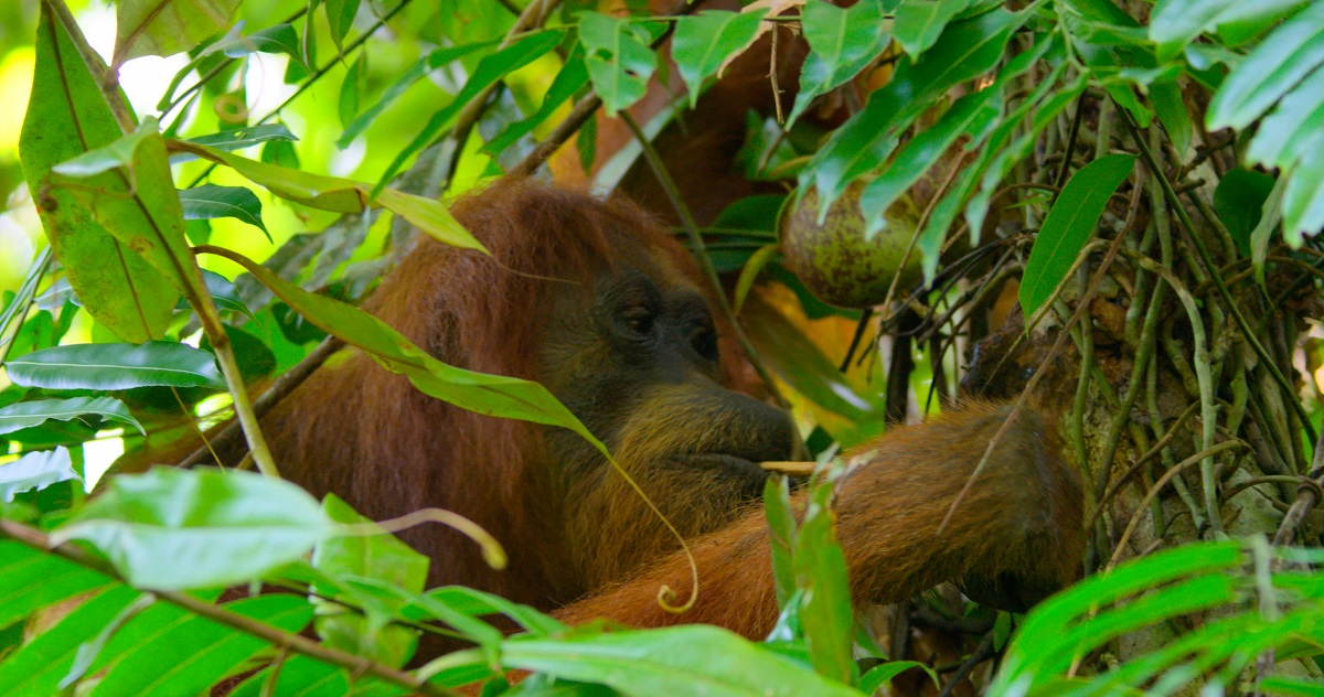 Orangutan using stick tool to winkle out ants from a tree hole.