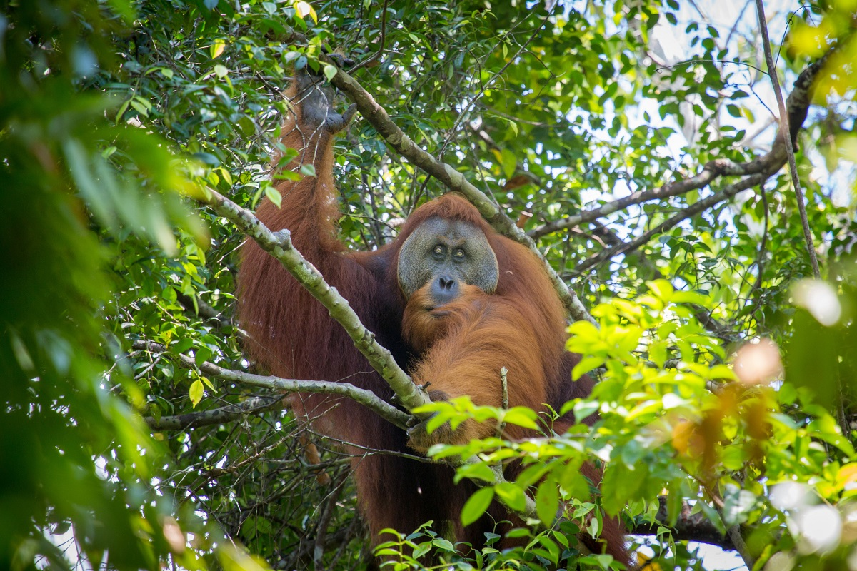 Sumatran Orangutan. Adult flanged male - part of a long term study by international scientists.