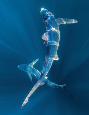 Blue sharks—the most abundant and widespread oceanic shark but also the most heavily fished.