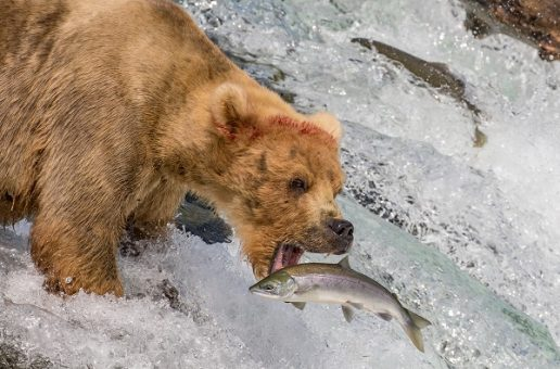 The Ultimate Alaska Wildlife Safari