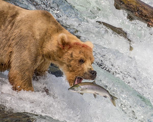 Bear catching salmon at Brooks Falls, Alaska