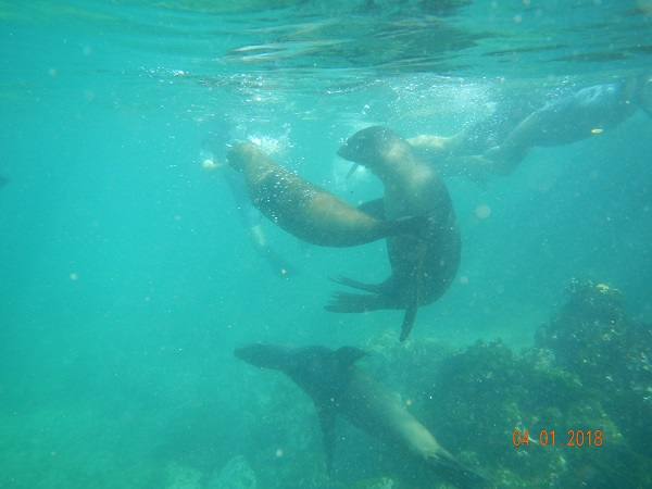Swimming with sea lions in Galapagos