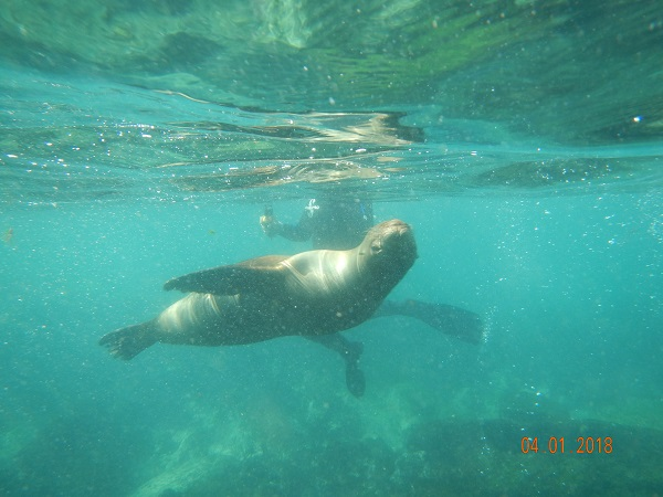 Swimming with Galapagos sea lions