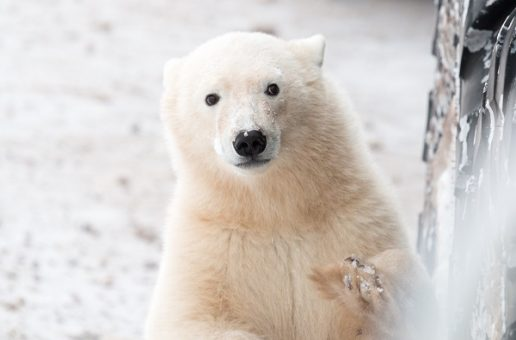 Capturing the Character of Polar Bears