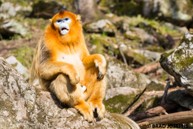 image of golden monkey, foping