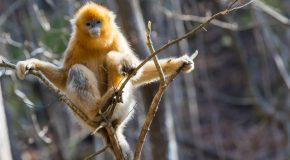 Golden Monkeys, Scarlet Ibis, Pandas and Conservation Victories in China
