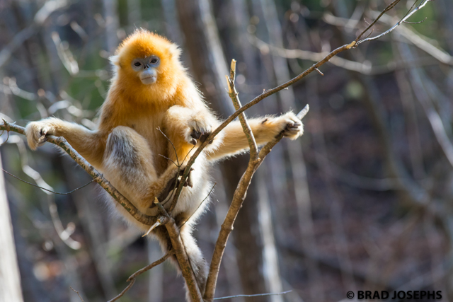 picture of golden money in foping reserve, shaanxi province, image, photo, golden snub nosed monkey