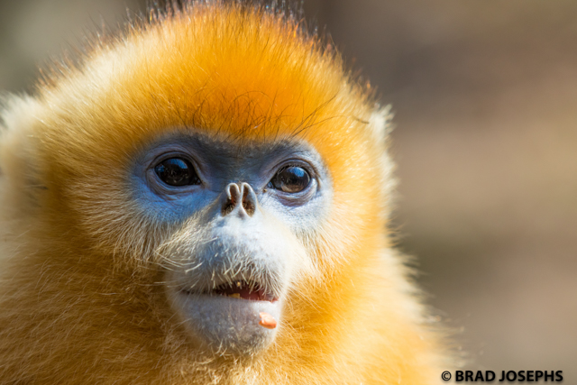 Golden monkey in China.