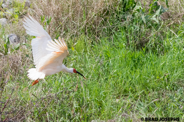 Crested ibis (nipponia nippon) in a wetland area in Shaanxi Province, China.