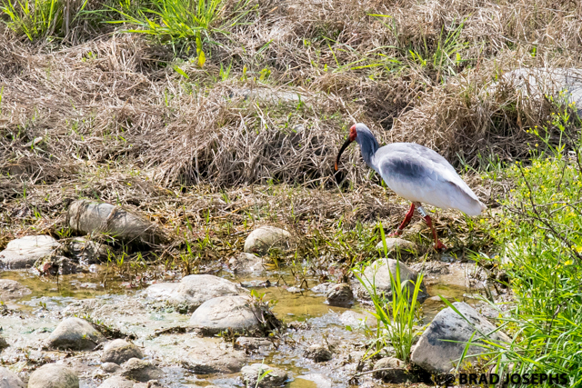 nipponia nippon) crested ibis, shaanxi china. wild crested ibis viewing in china