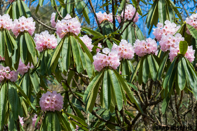 rhododendron in China
