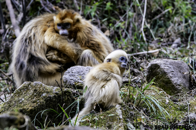 Family moment with golden monkeys