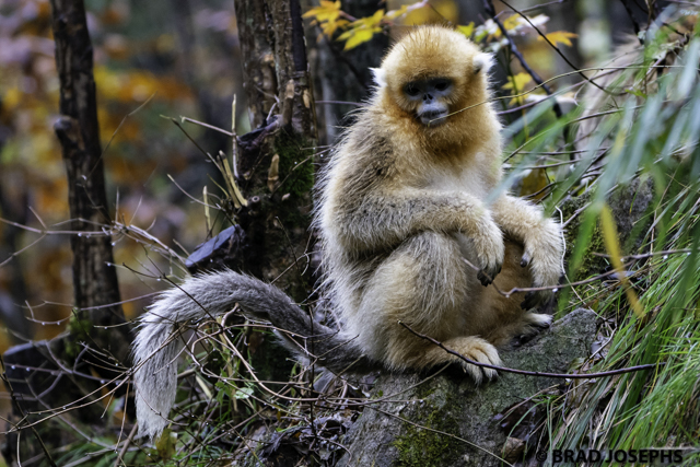 born in china, china golden snub-nosed monkeys