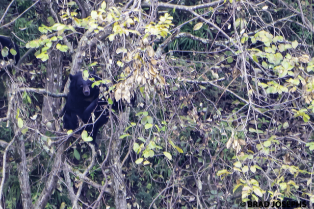 Moon bear in the forest in China.