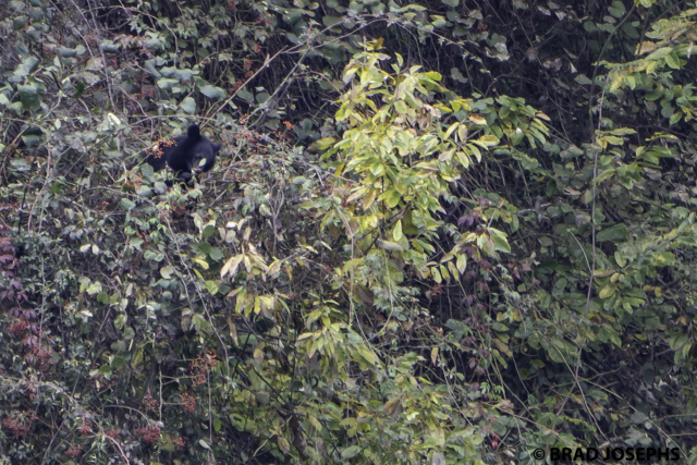 mage photo picture of wild moon bear, tangjahe, sichuan, china. wild asiatic black bear, brad josephs, china