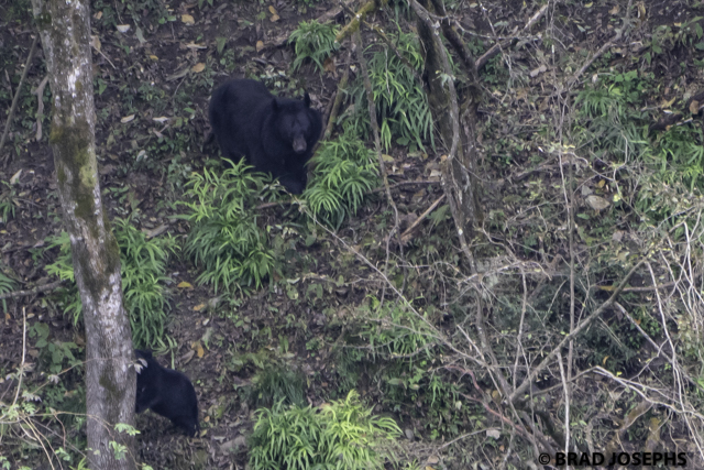 image photo picture of wild moon bear, tangjahe, sichuan, china. wild asiatic black bear, brad josephs, china