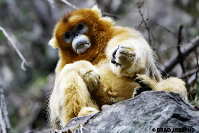 Golden monkey in China