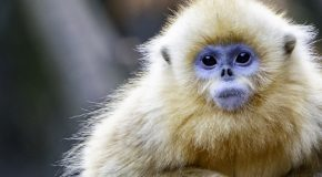 Autumn in the Kingdom of Heaven: Golden Monkeys and Golden Leaves in China