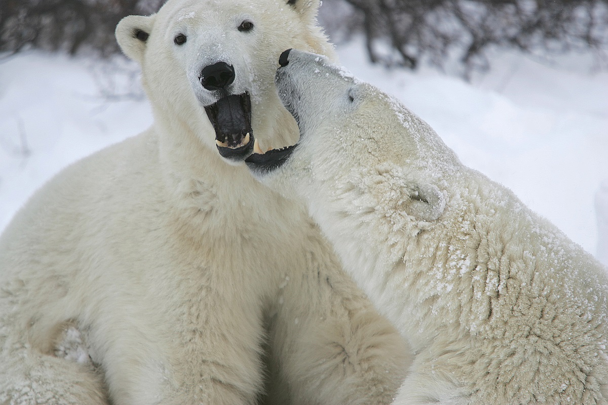 Polar bears playing in the snow