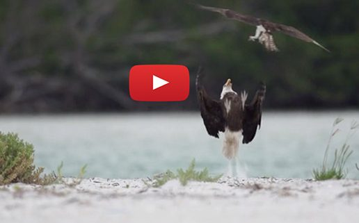 Eagles and Ospreys: When Birds of Prey Clash