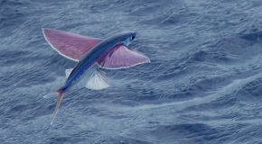 Wildlife Photo of the Week: Flying Fish