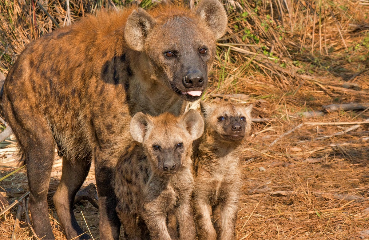Hyena with babies in Africa.