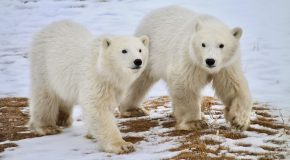 Why Are There So Many Polar Bears in Churchill in the Fall?