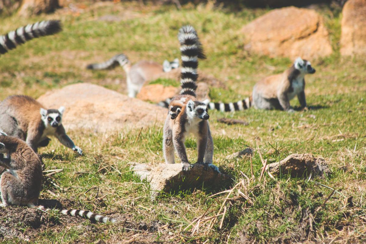 Lemur with baby in Madagascar