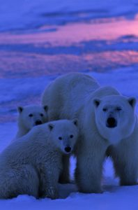 Polar bear mother and cubs at dawn.