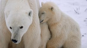 What are the Growth Stages of Polar Bear Cubs?