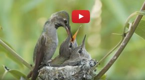 Video: Anna's Hummingbirds, from Nestlings to Fledglings