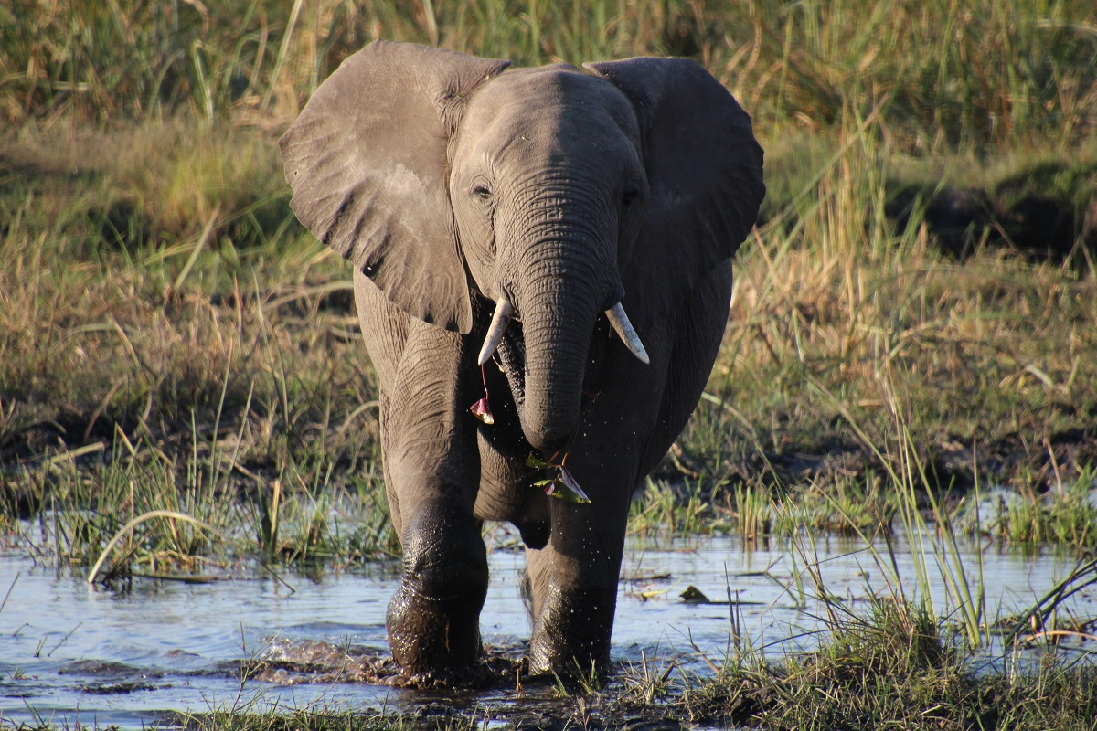 Elephant in the wetlands in Botswana