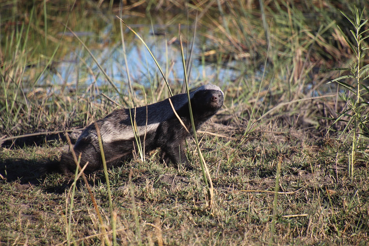 A honeybadger in Botswana