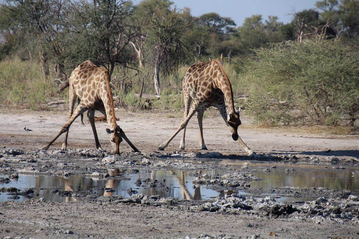 Giraffes take a drink in Botswana