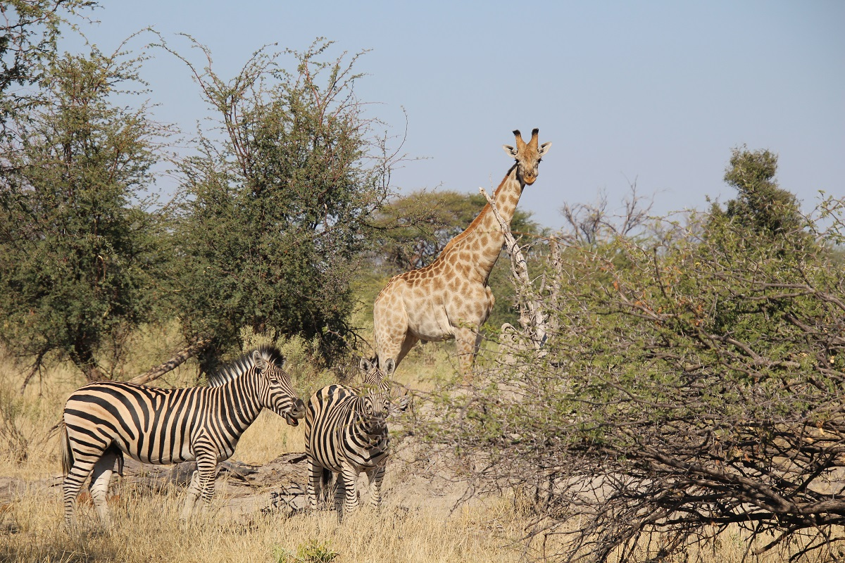 A giraffe and zebras in the trees in Botswana