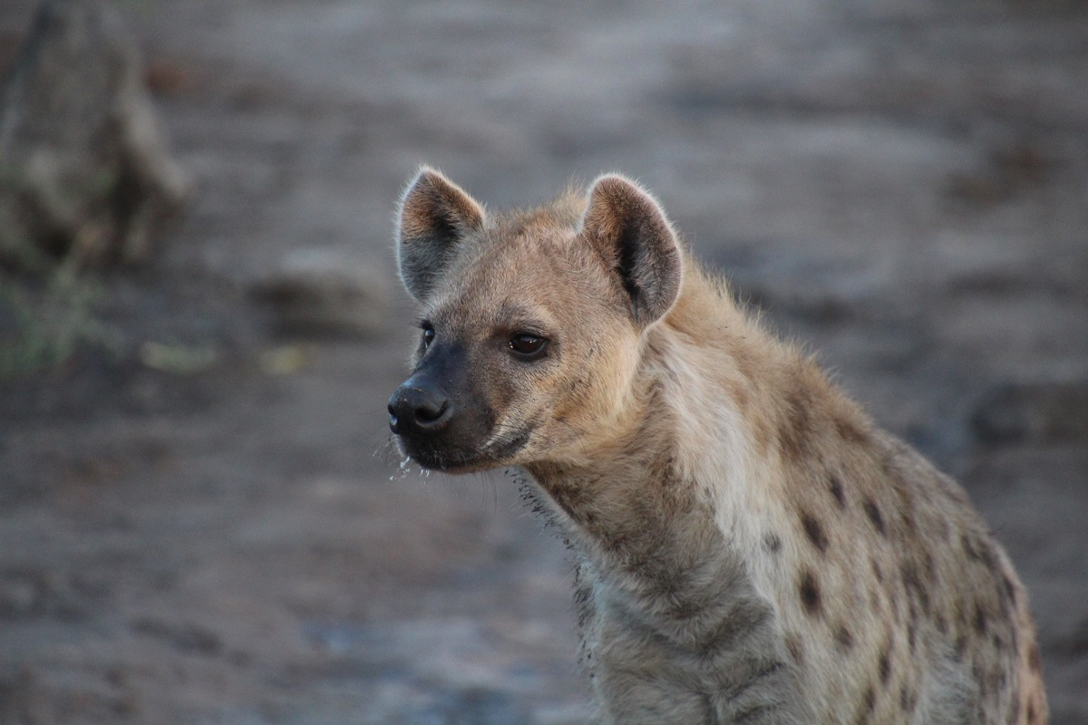 A portrait of a hyena in Botswana