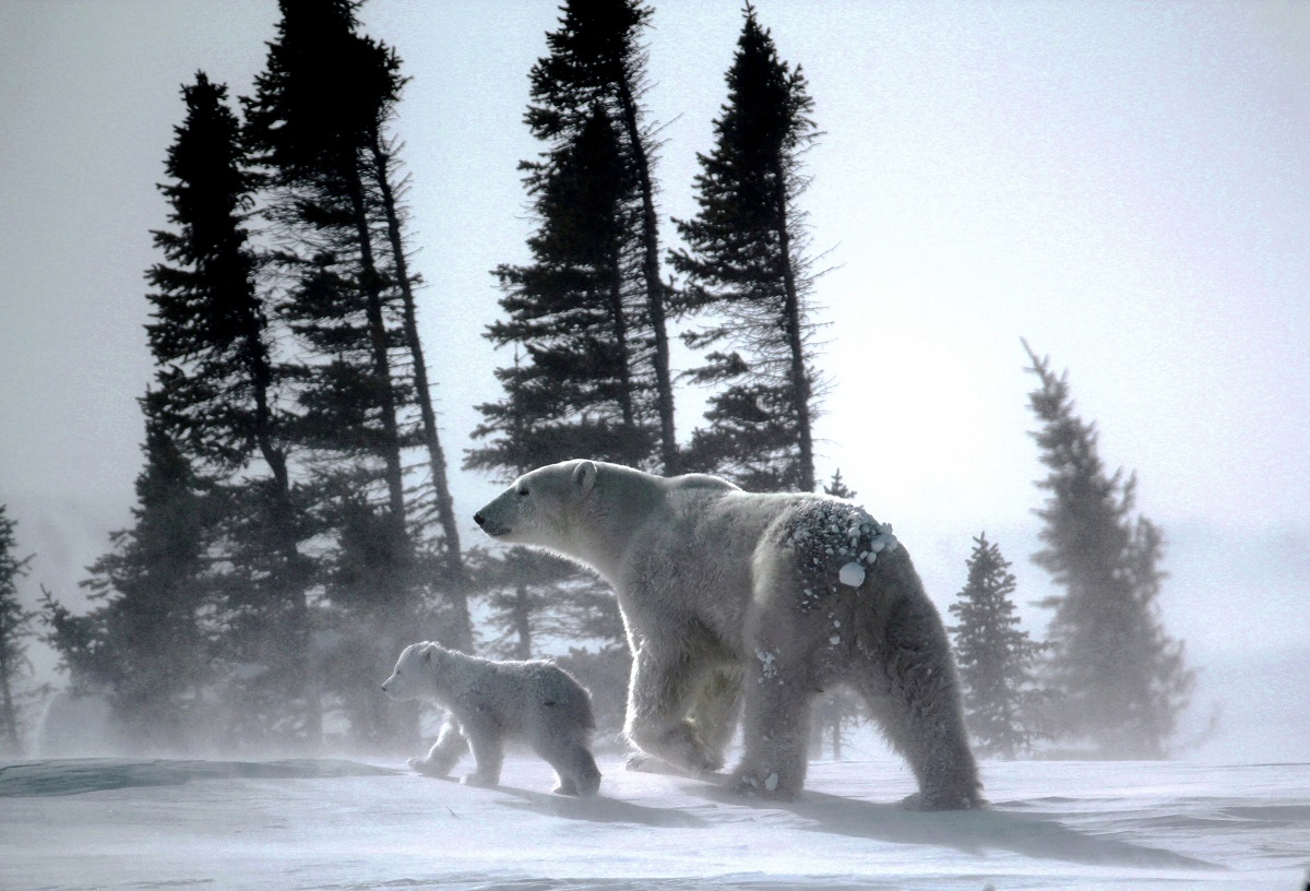 A polar bear and cub walk across the tundra in a storm.